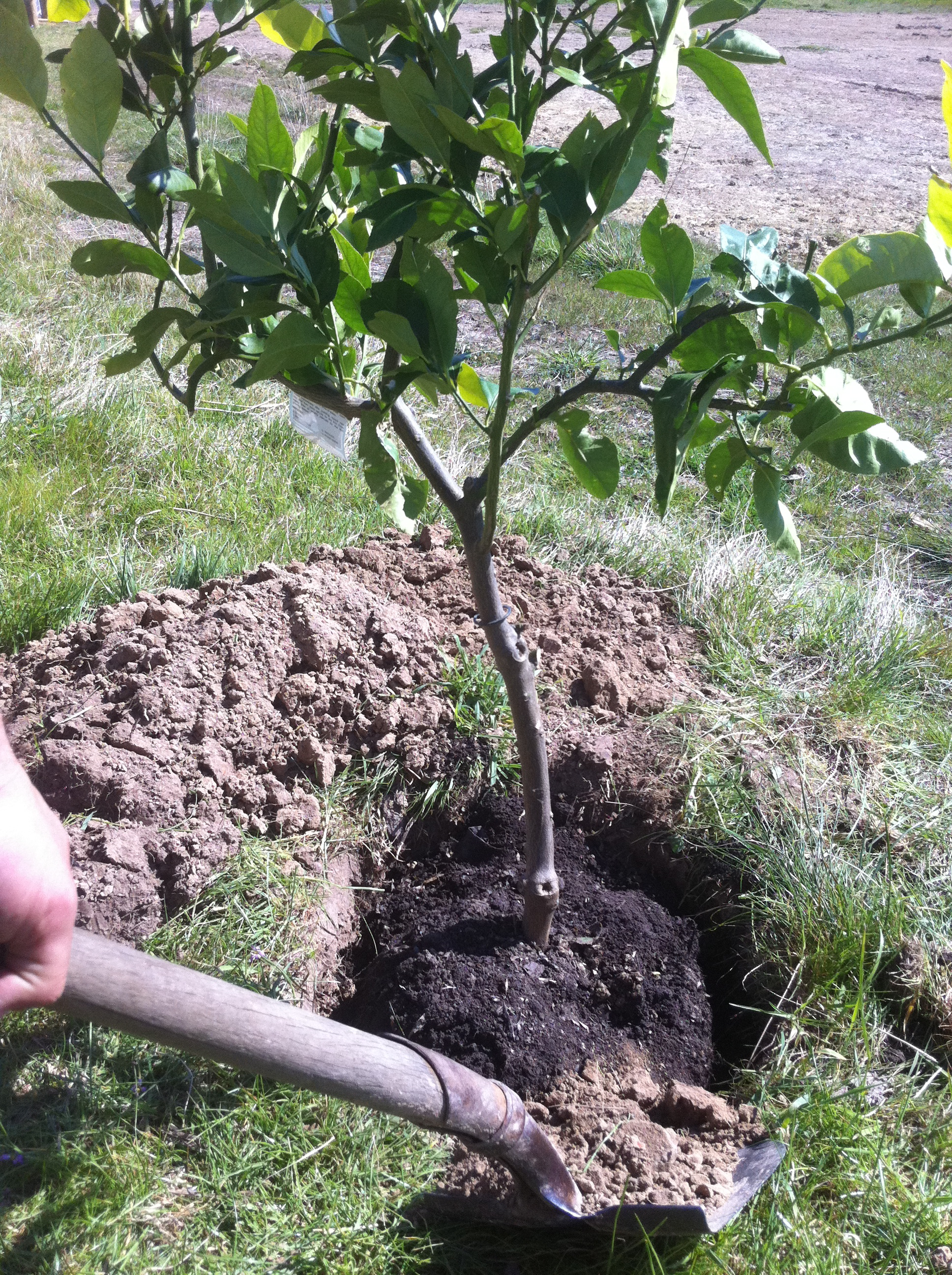 Fruit tree transplant life on the land for When to transplant lemon tree seedlings