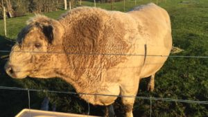 Our Square Meater bull named Goliath